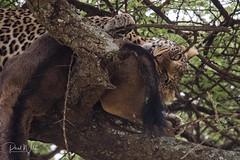 Breaking Skin (iamfisheye) Tags: 300mm vr nikon f4 leopard asilia d500 namiriplains tanzania2018 afs tc14iii pf serengetinationalpark safari