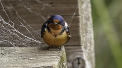 Barn Swallow (Bob Gunderson) Tags: alamedacounty arrowheadmarsh barnswallow birds california eastbay hirundorustica northerncalifornia swallows
