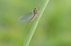 Mayfly (Ephemera sp.) (Bob Eade) Tags: mayfly insect riverlife river spring ephemera