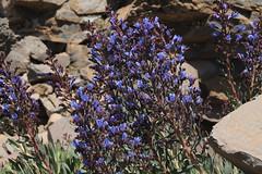 Caldera de Taburiente (plutogno) Tags: canary islands la palma caldera de taburiente volcano roque los muchachos flower purple electric blue