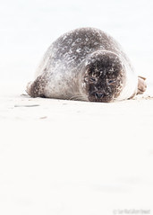 It's been a tough week... (Sue MacCallum-Stewart) Tags: seals seal shetland mammal