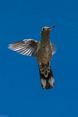 Hovering (Fred Roe) Tags: nikond7100 nikonafsnikkor200500mm156eed nature naturephotography national wildlife wildlifephotography animals birds birding birdwatching birdwatcher birdinflight hummingbird scalybreastedhummingbird phaeochroacuvierii colors outside flickr panama