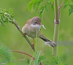 Whitethroat (Gary Chalker, Thanks for over 4,000,000. views) Tags: warbler whitethroat bird pentax pentaxk3ii k3ii pentaxfa600mmf4edif fa600mmf4edif fa600mm 600mm