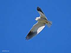 Black-winged Kite Elanus c. caeruleus (nik.borrow) Tags: bird kite raptor ndutu