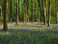 Bluebells in Micheldever Wood, Hampshire (neilalderney123) Tags: winchester bluebells hampshire trees micheldeverolympus