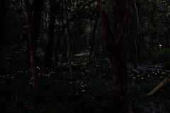 Fireflies (theq629) Tags: animal firefly xinbei xindian niubeibei taiwan