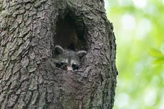 Safe and Secure (swmartz) Tags: nikon nature newjersey wildlife outdoors april 2019 200500mm d610 raccoon animal mercercounty trentonmarsh trenton