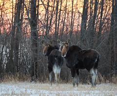Injured Moose Garrington 2019_710 (Archie Richardson) Tags: moose alberta 2019