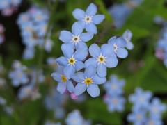 Pretty Forget -Me -Not... (Marie on Flickr) Tags: forget me not pretty blue garden back