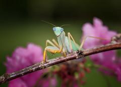 Glory Days (Kathy Macpherson Baca) Tags: animal bug insect world mantis african exotic spring flower praying preying carnivore macro planet bloom preserve