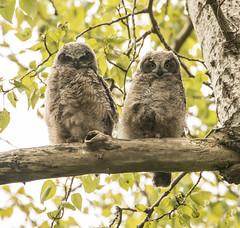 Great Horned Owl-6603 (Geoffrey Shuen Photography) Tags: greathornedowl owl birdofprey