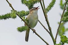 Sedge Warbler....Attenborough Nature Reserve (Scuba`Steve`) Tags: