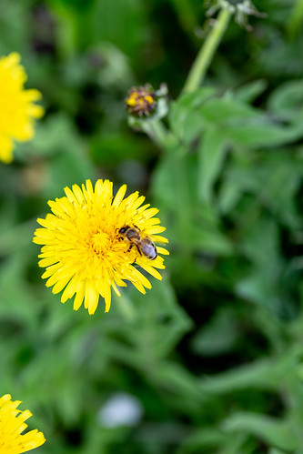 Bee on yellow dandelion flower, From FlickrPhotos