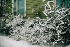 Iisalmi (Tuomo Lindfors) Tags: iisalmi finland suomi takatalvi lumi snow pensas bush shrub myiisalmi
