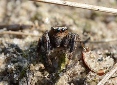 Evarcha michailovi - Jumping spider (westgpottery) Tags: spider salticidae springspin evarcha michailovi nature driftsand hogeveluwe