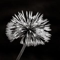 Dandelion B&W (de_frakke) Tags: bw monochrome wandelion paardenbloem zaadpluis plant natuur nature dauw dew morning