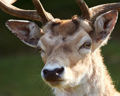 Nature&Animals (d50harry123) Tags: natuur natureandanimalsnl nature herr hert veluwe deer closeup portret wildedieren