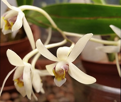 Epigeneium cymbidioides (Chaufglass) Tags: orchid cymbidioides fleur floraison epigeneium epigeneiumcymbidioides