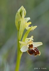 Orquídea Flor de la araña (Jose A. Casal) Tags: orquídeaflordelaaraña arañeraophrysincubacea