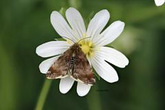 maybe Pyrausta despicata (Phil Arachno) Tags: germany niederems hessen arthropoda crambidae zünsler insecta lepidoptera schmetterling focusstacking heliconfocus