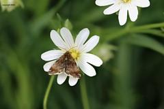 maybe Pyrausta despicata (Phil Arachno) Tags: germany niederems hessen arthropoda lepidoptera insecta schmetterling focusstacking heliconfocus canon eos80d crambidae zünsler