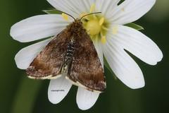 maybe Pyrausta despicata (Phil Arachno) Tags: germany niederems hessen arthropoda schmetterling lepidoptera insecta heliconfocus focusstacking canon eos80d crambidae zünsler