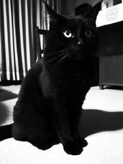 Black cat (inouejunji) Tags: cat blackcat 猫 blackandwhite cats ricoh grd grd4