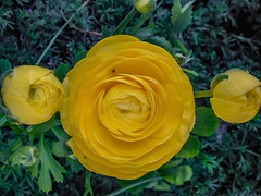 Moons Of Ranunculus (davidseibold) Tags: america animal bakersfield california coloryellow flower insect jfflickr kerncounty nature photosbydavid plant platoct postedonfb postedonflickr ranunculus unitedstates usa