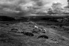 longmynd4 (s.iafrati@blueyonder.co.uk) Tags: monochrome blackandwhite photography landscape longmynd sheep