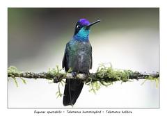 Talamanca hummingbird (Jan H. Boer, Nature photographer) Tags: eugenesspectabilis talamancahummingbird talamancakolibire birds hummingbirds nature wildlife portrait costarica highlands sangerardodedota nikon d500 afsnikkor200500f56eedvr jan´sphotostream2019