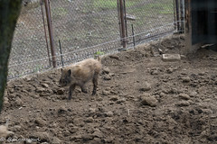 20190504-0032 (M.Pigmyowl) Tags: boar イノシシ 井の頭自然文化園