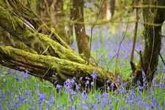 ... (Harry McGregor) Tags: nature trees flowers woodland bluebells harry mcgregor nikon d3300 3 may 2019