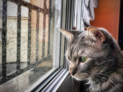 Chat devant la pluie. (jeromedelaunay) Tags: ilovemycat lovecats gato catlife animal gatos catoftheday catlovers animals kittens pet cute love kitty kitten meow pets catlover cat cats