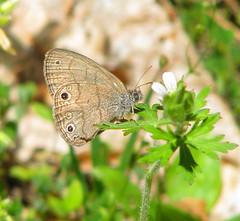 Carolina satyr (Hermeuptychia sosybius) (Vicki's Nature) Tags: carolinasatyr small butterfly brown tan spots white wildflower biello georgia vickisnature canon s5 3969 dof hermeuptychiasosybius