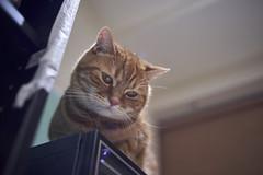 A9__DSC0015_C1 (Bazoka+Cynthia) Tags: alpha cat 小婆 新北市 樹林區 貓