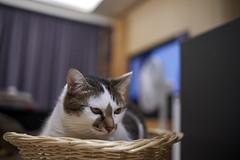 A9__DSC0018_C1 (Bazoka+Cynthia) Tags: cat 塞奈 小婆 新北市 樹林區 貓