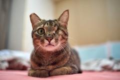 A9__DSC0050_C1 (Bazoka+Cynthia) Tags: cat 小婆 新北市 樹林區 貓 鼻孔