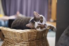 A9__DSC0047_C1 (Bazoka+Cynthia) Tags: cat 塞奈 小婆 新北市 樹林區 貓