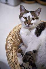 A9__DSC0043_C1 (Bazoka+Cynthia) Tags: cat 塞奈 小婆 新北市 樹林區 貓