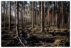 (schlomo jawotnik) Tags: 2019 april fichtenwalde bäume wald forst birke nadeln unterholz usw