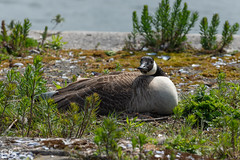 Canada Goose! (frisiabonn) Tags: bird canada geese goose dock water birkenhead england britain branta canadensis rest plants outdoor life