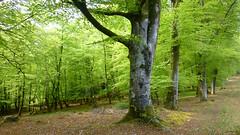 New Forest NP, Hampshire, UK (east med wanderer) Tags: england hampshire uk newforestnationalpark nationalpark trees forest woodland oak beech spring