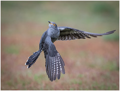 Colin twist (dickiebirdie68) Tags: bird cuckoo action wildlife avian feeding wild nature nikon d850 wings flight