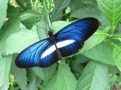 Mariposa Heliconius erato conocida en Colombia como carterita. Es un lujo verle exhibir su color azul zafiro iridiscente el cual intenta ocultar prefiriendo el sombrío de bosques y cafetales. (cirestrepo) Tags: carterita smallpostman heliconiuserato mariposa mariposas mariposascolombia mariposascolombianas mariposasdecolores mariposasandes mariposasdeamérica mariposasdesuramérica butterflies butterfly colombianbutterfly andeanbutterfly butterfliesoftheandes butterflywatching butterflyattraction butterflylovers backyardbutterflies butterflybasics tropicalbutterflies nymphalidae heliconiinae mariposacarteritaazul smallpostmanbutterfly heliconiuseratochestertonii