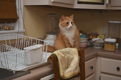 Late nights with Jimmy (rootcrop54) Tags: jimmy longhair longhaired orange ginger tabby male kitchen counter dishdrainer pink yellow neko macska kedi 猫 kočka kissa γάτα köttur kucing gatto 고양이 kaķis katė katt katze katzen kot кошка mačka gatos maček kitteh chat ネコ