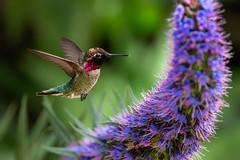 A Little Shine (Patricia Ware) Tags: annashummingbird birdsinflight california calypteanna canon ef400mmf4doisiiusmlens echiumcandicans handheld playadelrey prideofmadeira ©2019patriciawareallrightsreserved playavista unitedstatesofamerica specanimal