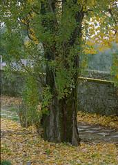 Fall (lebre.jaime) Tags: portugal covilhã mountainbotanicalgarden jardimbotânicodemontanha analogic film135 kodak portra400 epson v600 affinity affinityphoto tree fall autumn