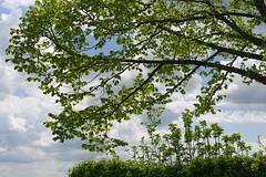 Spring (lebre.jaime) Tags: portugal covilhã tree treetop sky spring digi ff fx fullframe nikon d600 afsnikkor5018g affinity affinityphoto
