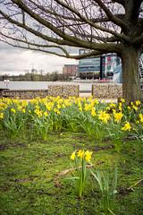 Daffodils, NEC Birmingham (Matthew_Hartley) Tags: daffodils plant flower flowers nec nationalexhibitioncentre birmingham necresortsworld pendigolake lake solihull westmidlands midlands england uk canon ixus elph z70 film aps fujifilm fuji nexia 200