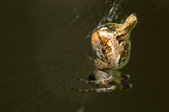 Trashline Orb Weaver (Cyclosa, Araneidae) spider on its web (Treebeard) Tags: trashlineorbweaver cyclosa araneidae spider sanmarcospass santabarbaracounty california